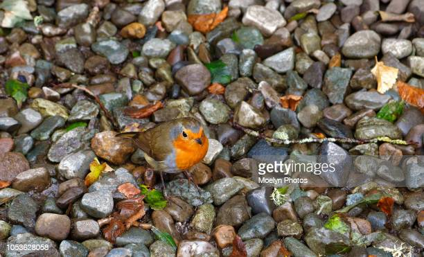 european robin on wet pebbles - one animal stock pictures, royalty-free photos & images