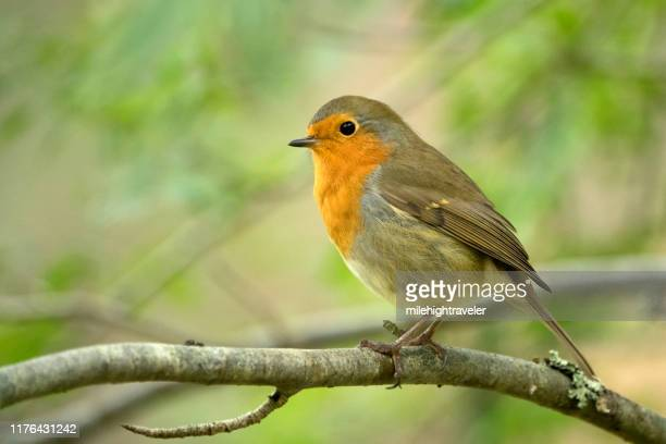 european robin perched caledonian pinewoods cairngorms national park scotland uk - milehightraveler stock pictures, royalty-free photos & images