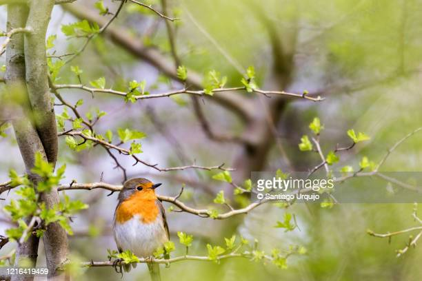 european robin perched on a common hawthorn - one animal stock pictures, royalty-free photos & images