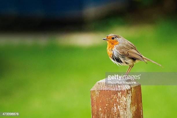 A European robin perched on a garden fence taken on April 21 2014
