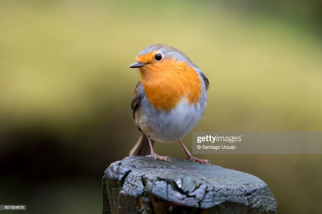 European Robin perched on a tree trunk : Stock-Foto