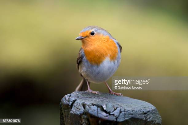 european robin perched on a tree trunk - songbird stock pictures, royalty-free photos & images