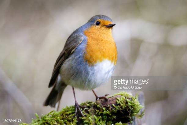 european robin perched on moss - bird stock pictures, royalty-free photos & images