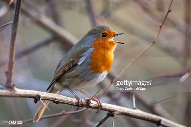 european robin - birdsong stock pictures, royalty-free photos & images