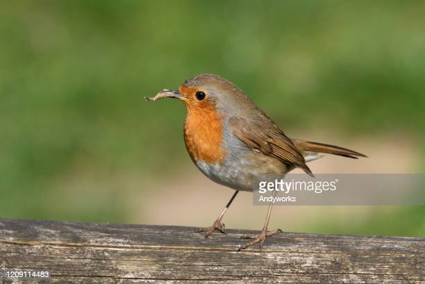 europäische robin - tierbauten stock-fotos und bilder