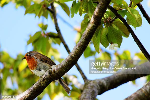 european robin - gregoria gregoriou crowe fine art and creative photography stockfoto's en -beelden
