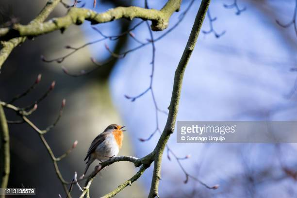 european robin singing on a beech tree - linda rama fotografías e imágenes de stock