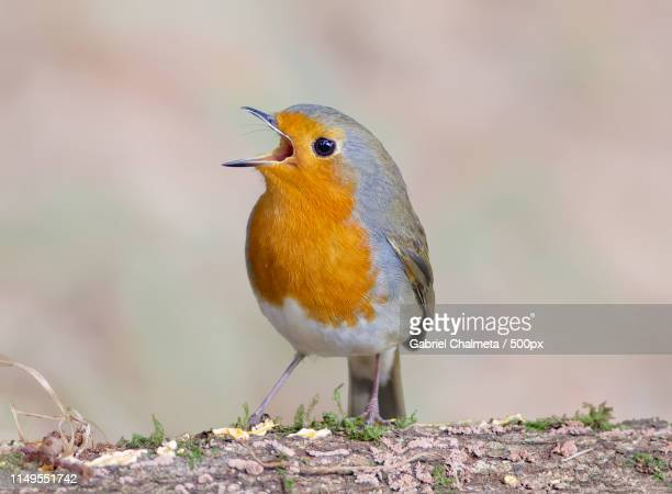european robin(erithacus rubecula) singing - birdsong stock pictures, royalty-free photos & images