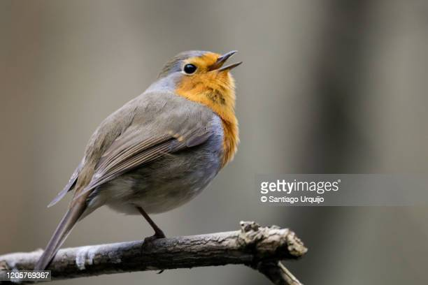 european robin singing - songbird stock pictures, royalty-free photos & images