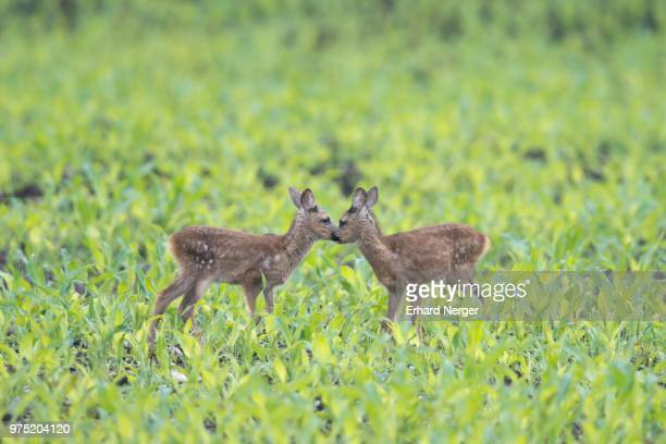 european roe dear fawns (capreolus capreolus) standing in a field, emsland, lower saxony, germany - fawn stock photos and pictures