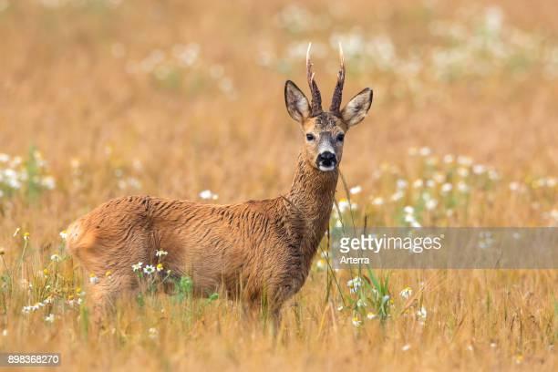 European roe deer buck foraging in cereal field in summer