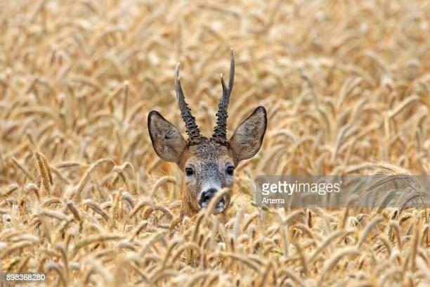 European roe deer buck hiding in cereal field in summer