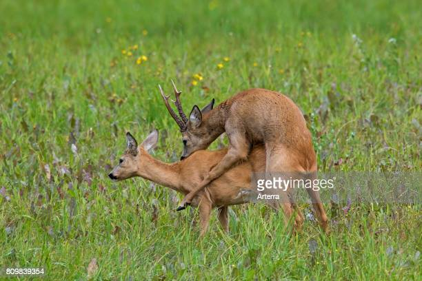 European roe deer buck mating with doe in heat during the rut in summer