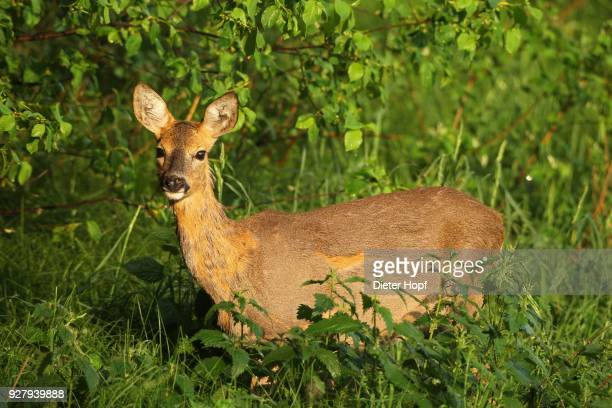 european roe deer (capreolus capreolus), doe, in the summer in the bushes, allgaeu, bavaria, germany - femmina di daino foto e immagini stock