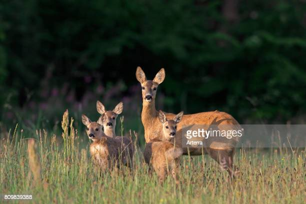 European roe deer female with three fawns in grassland at forest's edge in summer