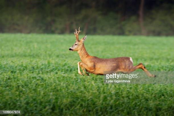 european roe deer (capreolus capreolus), running, lechovice, znojmo district, south moravia, czech republic - running deer shooting stock pictures, royalty-free photos & images