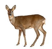 European Roe Deer standing against white background