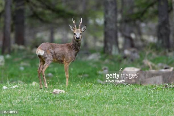 european roe deer (capreolus capreolus) standing in forest - chevreuil photos et images de collection