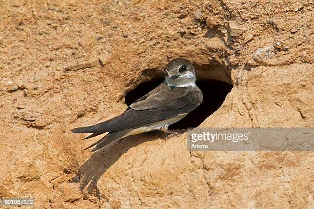 European sand martin / bank swallow at nest hole in breeding colony on river bank