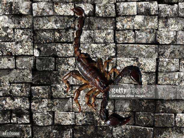 european scorpion - pedipalp stock photos and pictures