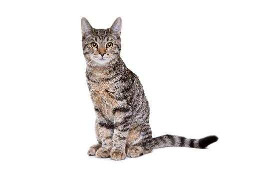 European short haired cat 1072769156