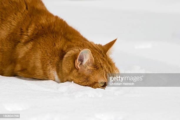 European shorthair cat in snow