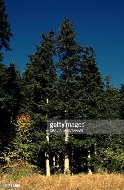 European silver fir specimens Pinaceae Casentinesi Forests Falterona Mount and Campigna National Park Toscana Emilia Romagna Italy