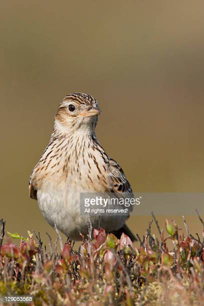 European skylark in bowland