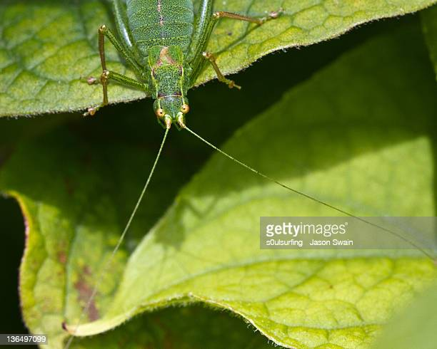 european speckled bush-cricket - s0ulsurfing stock pictures, royalty-free photos & images