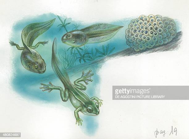 European tree frog stages of transformation from egg to tadpole illustration