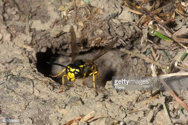 European wasp / German wasp / German yellowjacket leaving underground nest