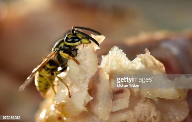 European wasp (Vespula germanica), sitting and feeding on fried bacon, Germany