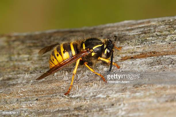 European wasp -Vespula germanica- rasping wood, Lauwersmeer National Park, Holland, The Netherlands