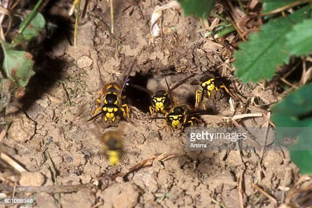 European wasps / German wasps / German yellowjacket swarm leaving underground nest