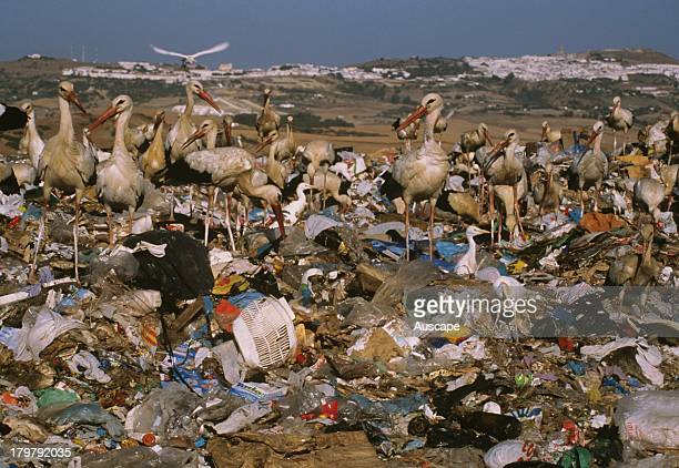 European white storks Ciconia ciconia in garbage dump Spain
