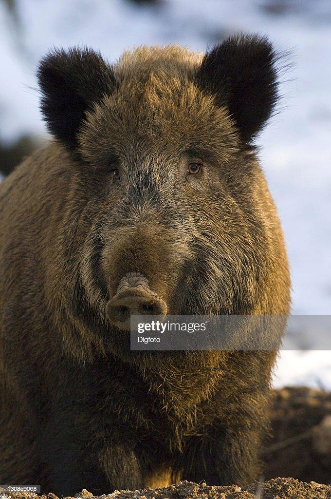 Dating Bear Kodiak jägare