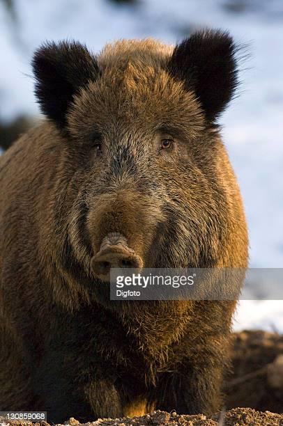 European wild boar (Sus scrofa scrofa)