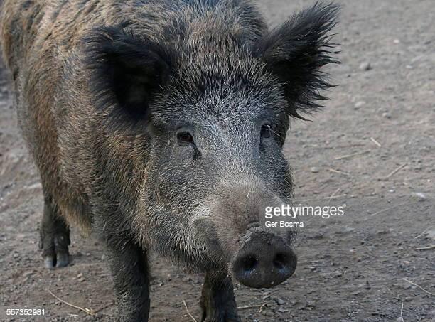 european wild boar portrait - nariz grande imagens e fotografias de stock
