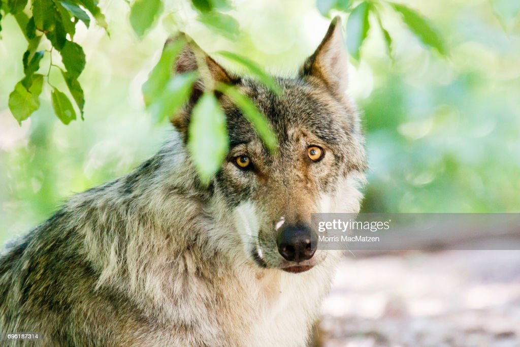 A European wolf relaxes in their enclosure at the Wolfcenter wolf park on June 14, 2017 in Dorverden, Germany. The European wolf, known by its scientific name of Canis lupus lupus, disappeared in Germany in the 19th century but has in recent years been making a steady comeback. German wildlife authorities have recorded the presence of at least 200 wolfs in the wild across the country and believe they migrated from eastern Europe. The wolfs are under official protection, much to the irritation of shepherds, who claim the wolfs are becoming a growing menace to their sheep.
