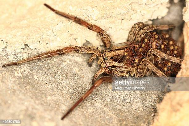 european wolf spider or false tarantula -hogna radiata- with spiderlings on its abdomen, krk, kvarner gulf, croatia - aranha armadeira imagens e fotografias de stock