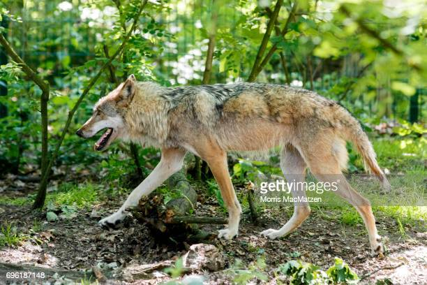 wolf country the pack body postures and social structure - 612×408