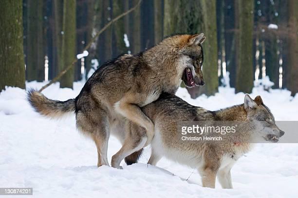 european wolfs (Canis lupus lupus) by copulation, winter