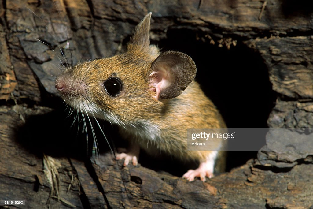 European wood mouse / Common field mouse (Apodemus sylvaticus) foraging in tree trunk in forest, Belgium : News Photo
