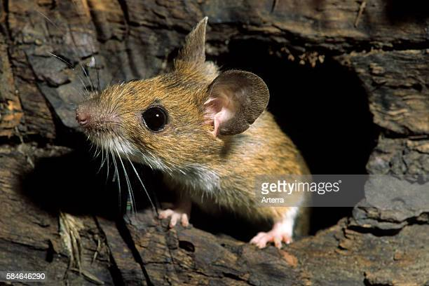 European wood mouse / Common field mouse foraging in tree trunk in forest Belgium