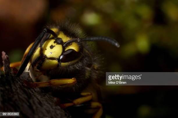 European/German Wasp (Vespula Germanica)