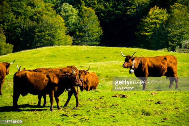 europe,france,auvergne,rhone-alpes,cantal, salers cattle in a meadow - cantal stock pictures, royalty-free photos & images