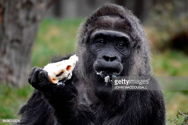 Europe's oldest gorilla Fatou eats her birthday cake as she turns 61 on April 13 2018 at the Zoologischer Garten zoo in Berlin Fatou is the oldest...