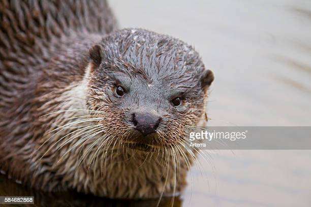 Europese otter European river otter close up