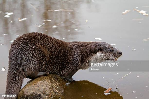 Europese otter op rots in rivier European river otter on rock in river