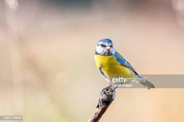 eursian blue tit or cyanistes caeruleus on a brunch - pájaro tropical fotografías e imágenes de stock